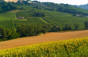 121983584-Vineyards in Marche