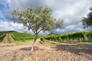 136798979-Vineyard near Etna