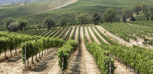 177747000-Vineyards in Montepulciano