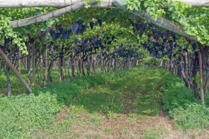 186947190-Traditional trellising in Trentino