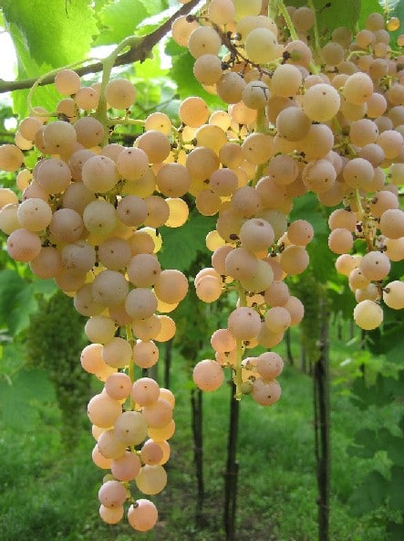 Grapes-Garganega