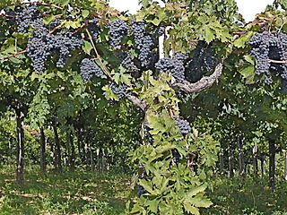 Grapes-Montepulciano